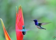 白颈蜂鸟(贺获首页视频精华)