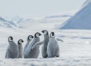 难忘的帝企鹅宝宝们(视频)