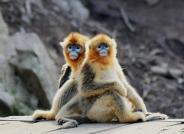 给你们合个影------金丝猴(祝贺荣获首页动物精华)