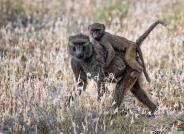 东非狒狒--祝贺首页精华!