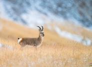 藏原羚羊--祝贺首页精华!