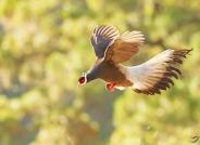 自由飞翔~~褐马鸡