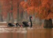 池杉湖之恋---祝贺鸟网年会圆满成功