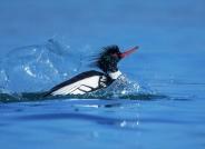《滑水》------红胸秋沙鸭~~贺图获《首页鸟类精华》