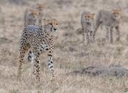 伟大的母亲!- 抚养四只小猎豹成长
