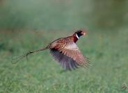 雉鸡展翅卷尾