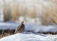 雪域中的大石鸡