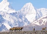 喜马拉雅山的藏野驴---祝贺首页精华!
