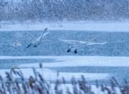 《顶风冒雪》-----大天鹅(恭贺老师佳作喜获鸟网首页每日一图)