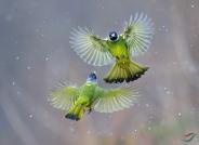 《三十六幅双鸟同框》