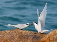 爱的传递——黑枕燕鸥------贺荣获首页精华