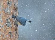 在雪中(恭贺荣获首页鸟类精华)