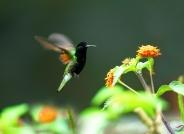 黑腹蜂鸟  摄于哥斯达黎加(祝贺荣获首页鸟类精华)