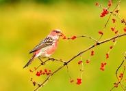 祝青海版版主鸟友新年快乐【荣获首页鸟类精华】