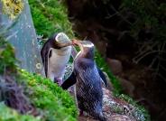 亲密伴侣(黄眼企鹅)(祝贺荣获首页鸟类精华)