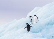 南极冰川上的阿德利企鹅
