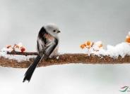 雪天拍银喉雀(恭贺老师佳作喜获鸟网首页鸟类精华)