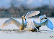 水中争斗(获首页鸟类精华)