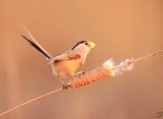 震旦鸦雀(祝贺荣获首页鸟类精华)