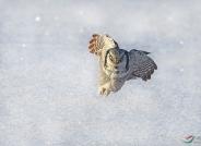 猛鸮出击(祝贺获首页精华)