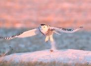 雪鴞(祝贺获首页精华)