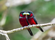 黑红阔嘴鸟。    祝贺荣获首页精华