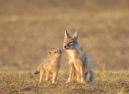 母爱——沙狐
