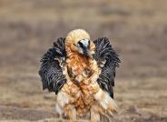 展翅的胡兀鹫