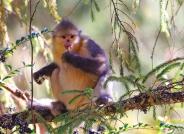 吃年饭~~~滇金丝猴