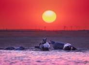 啊,我的太阳!——辽东湾斑海豹