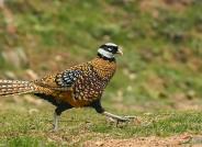 [图文]白冠长尾雉――优雅雄鸟和狼狈的雌鸟