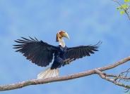 双足落杆 ---- 花冠皱盔犀鸟