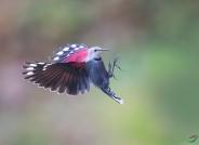 红翅旋壁雀(荣获首页鸟类精华)