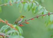 鸟儿不负春 ---- 暗绿绣眼