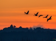 晨曦--黑颈鹤