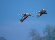 迁徙的白枕鹤