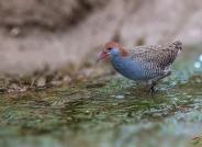 蓝胸秧鸡觅食