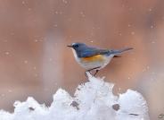冰山上的来客——红胁蓝尾鸲
