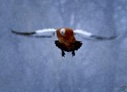 风雪赤麻鸭(祝贺荣获首页鸟类精华)