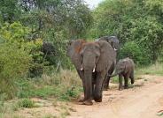 大象母子(祝贺荣获首页动物精华)
