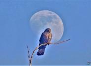 月亮里的(红隼)