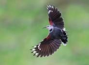红翅旋壁雀的反向飞翔(荣获每日一图)