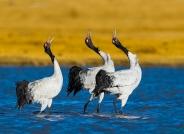 歌唱家--黑颈鹤(恭贺荣获首页鸟类精华)