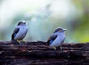 银胸丝冠鸟