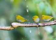 灰腹绣眼鸟洗澡