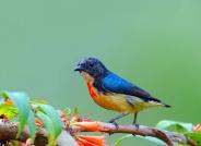 《精灵的红胸啄花鸟》