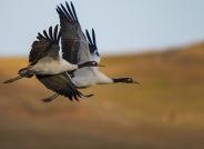 黑颈鹤  (贺获鸟类精华)