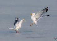 海鸥争斗  (贺获鸟类精华)