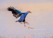 紫水鸡---(恭贺首页精华)