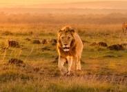 巡视领地的雄狮(祝贺老师每曰一图!)